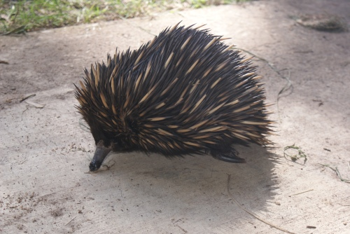 Echidna Adult Car Hit