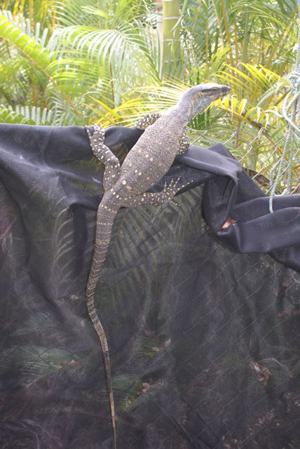 Lace Monitor - Goanna