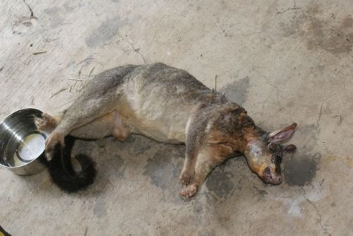 Killed by a Carpet Python