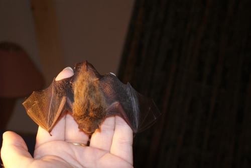 Micro Bat