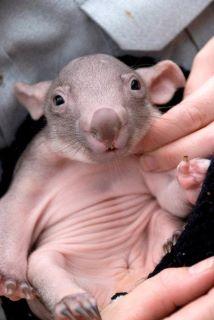 Wombat Puggle