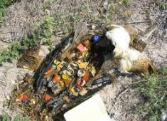 Deceased Bird with plastic stomach contents