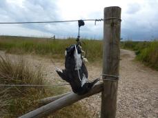 dead-entangled-guillemot