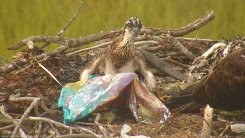 osprey-chick-with-mylar-balloon